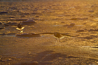 Gulls Searching For A Meal Print by Tim Grams