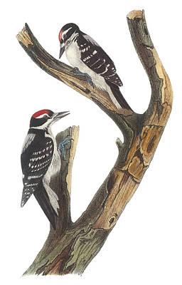 Woodpecker Painting - Hairy Woodpecker by John James Audubon