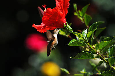 Hibiscus Photograph - Hanging In The Garden by Lynn Bauer