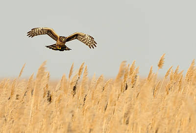Northern Harrier Photograph - Harrier O'er Amber Waves by William Jobes