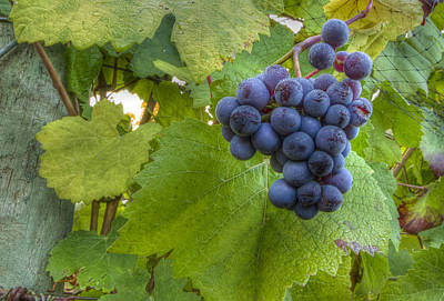 Pinot Noir Photograph - Harvest Ready by Jean Noren