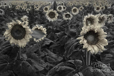 Haunting Sunflower Field 3 Print by Dave Dilli