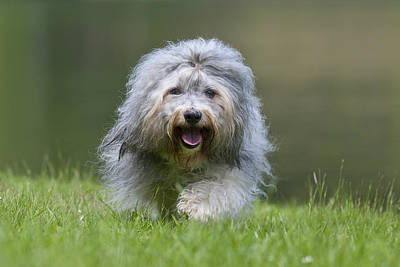 Y120817 Photograph - Havanese Dog by @Hans Surfer