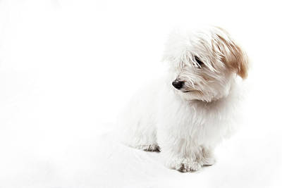 Havanese Photograph - Havanese Puppy by Daniel Pupius