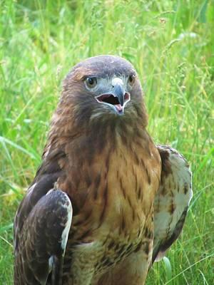 Photograph - Hawk-eye-2 by Todd Sherlock