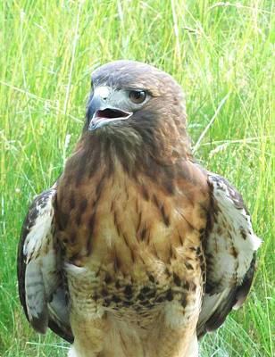 Photograph - Hawk-eye-3 by Todd Sherlock