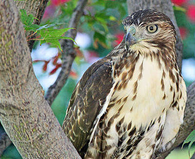Photograph - Hawk In Tree 3 by Becky Lodes