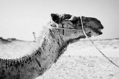 Camel Photograph - head of a dromedary camel being led through the sahara desert at Douz Tunisia by Joe Fox
