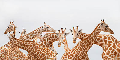 Giraffe Photograph - Herd Of Giraffe by Grant Faint