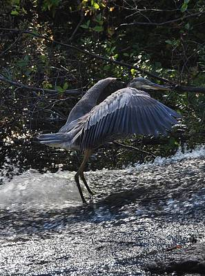 Photograph - Herons Dance Vi by Frank LaFerriere
