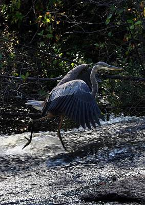 Photograph - Herons Dance Vii by Frank LaFerriere