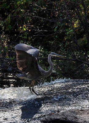 Photograph - Herons Dance Viii by Frank LaFerriere