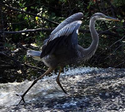 Photograph - Herons Dance X by Frank LaFerriere