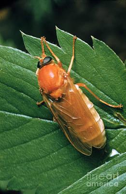 Midge Photograph - Hessian Fly, A Gall Midge by Louis Quitt