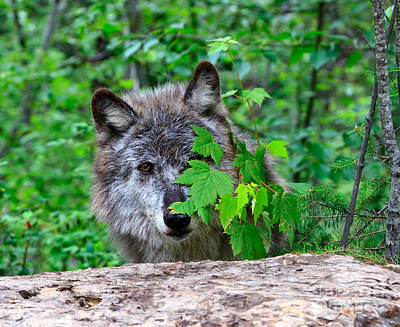 Wolf Photograph - Hiding Behind The Leaves by Louise Heusinkveld