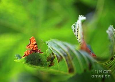 Hiding Comma Butterfly Print by Clare Scott