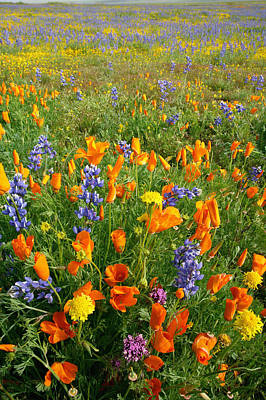 High Angle View Of Lupines And Poppies On A Landscape, Carrizo Plain National Monument, California, Usa Print by Purestock