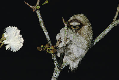 Hoffmanns Two-toed Sloth Choloepus Print by Mark Moffett