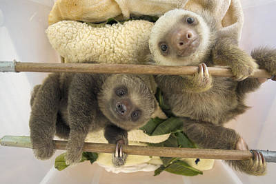 Hoffmanns Two-toed Sloth Orphaned Babies Print by Suzi Eszterhas