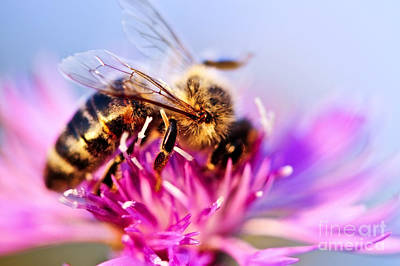 Bees Photograph - Honey Bee  by Elena Elisseeva