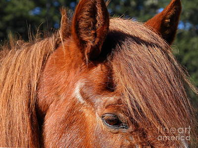 Horse At The Ranch . 7d9761 Print by Wingsdomain Art and Photography