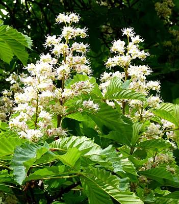 Horse Chestnut Blossoms Print by Will Borden
