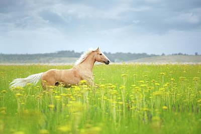 Horse Running In Field Print by Arman Zhenikeyev - professional photographer from Kazakhstan