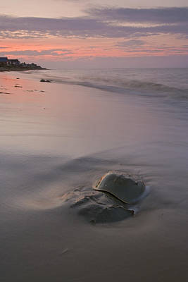 Limulus Polyphemus Photograph - Horseshoe Crab Pair On Beach Delaware by Piotr Naskrecki