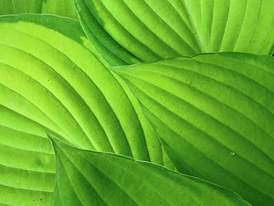 Hosta Leaves Print by Photograph by Judith Green