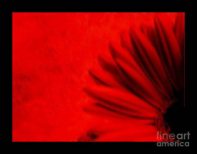 Hot Red Gerber Daisy Print by Marsha Heiken