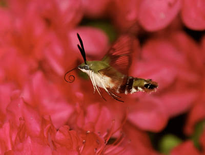 Hovering Clearwing Hummingbird Moth Print by Lara Ellis