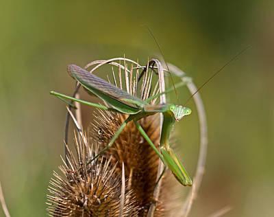 Mantis Photograph - Howdy by Betsy C Knapp