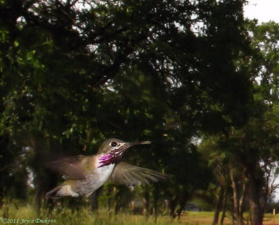 Hummer In Flight Print by Joyce Dickens