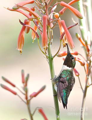 Flower Photograph - Hummer Stands And Sips by Wayne Nielsen