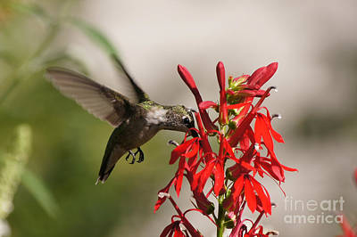 Ruby-throated Hummingbird Photograph - Hummingbird And Cardinal Flower 8069-1 by Robert E Alter Reflections of Infinity
