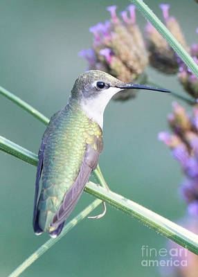 Ruby-throated Hummingbird Photograph - Hummingbird At Rest by Robert E Alter Reflections of Infinity