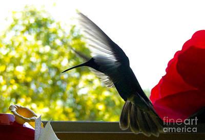 Hummingbird Series 12 Print by Al Bourassa