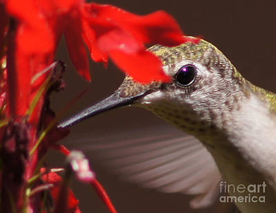 Ruby-throated Hummingbird Photograph - Hummingbirds Love Cardinal Flower 2 by Robert E Alter Reflections of Infinity