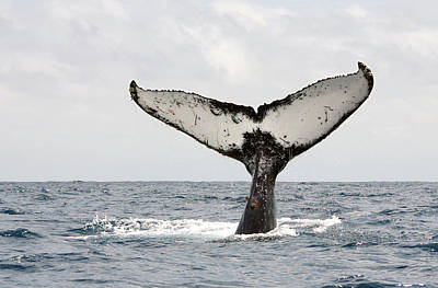 Whale Photograph - Humpback Whale Tail by Photography by Jessie Reeder