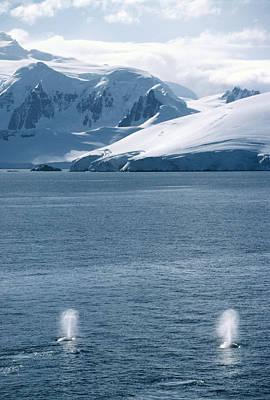Antartica Photograph - Humpback Whales Exhaling by David Vaughan