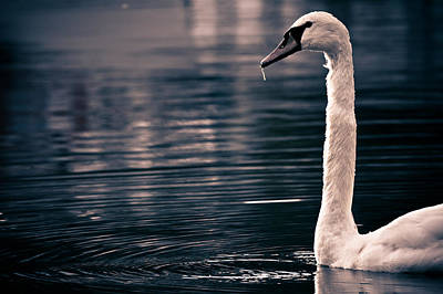 Hungry Swan Print by Justin Albrecht