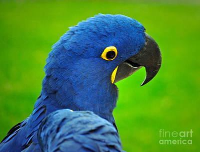 Hyacinth Macaw Print by Gwyn Newcombe