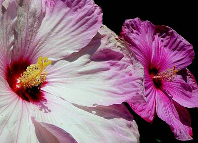 Flowers Photograph - Hybiscus - Emergence by Lori Seaman