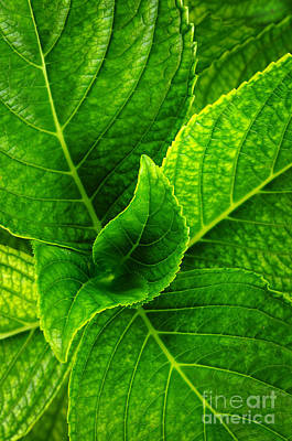 Background Photograph - Hydrangea Leaves by Carlos Caetano