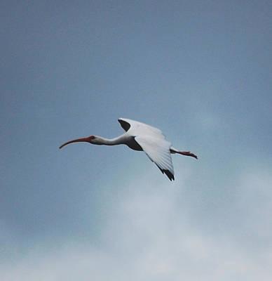 Ibis Digital Art - Ibis In Flight by David Lane