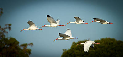 Whites Photograph - Ibis On The Move by Andres Leon