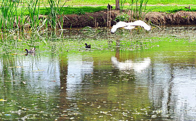 Ibis Photograph - Ibis Over His Reflection by Kaye Menner