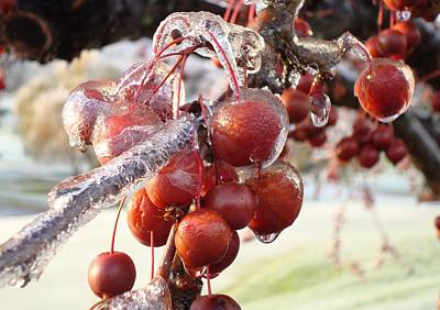 Ice On The Crab Apples Print by B Rossitto