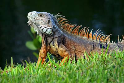 Iguana Poses  Print by Joe Myeress