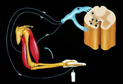 Illustration Of Human Nervous Reflex Arc Print by Francis Leroy, Biocosmos.